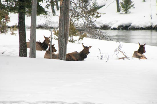 עדר יחמורים נח בשלג / צילום: נורית פרח