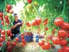 גידולי עגבניוות / צילום: טרנדליינס
