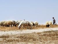 עדר עזים בדרום / צילום: איל יצהר