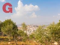 עצי הזית סביב בקעת סחנין /  צילום: סלאח דקסה