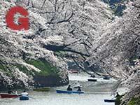 פארק Chidorigafuchi אחת מנקודות התצפית היפות ביותר לפריחת הדובדבן / צילום: רויטרס - Issei Kato