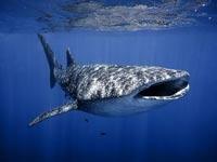 כריש לוויתן / צילום: עמרי יוסף עומסי, רשות הטבע והגנים