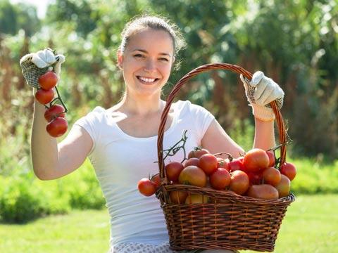 עגבניות/ צילום : שאטרסטוק