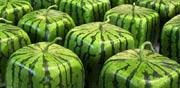 אבטיחים מרובעים / צילום: מהוידאו