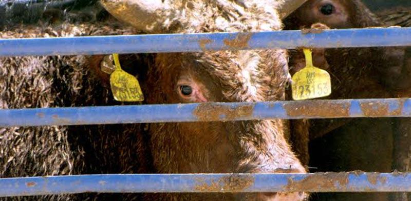 הובלת עגלים אוסטרליים/צילום: עמותת אנונימוס לזכויות בעלי חיים