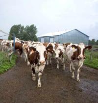 """עדר פרות בארה""""ב/ צילום: רויטרס, Christinne Muschi"""