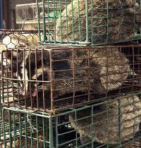 דביבונים מוערמים בכלובים צפופים בשוק לחיות בר במחוז Guangzhou. לא הסיקו מסקנות לאחר מגפת הסארס / צילום: Xinhua, Liu Dawei, Associated Press