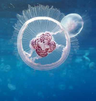מדוזה אורליה במפרץ אילת/ צילום:  גולן רידר רשות הטבע והגנים