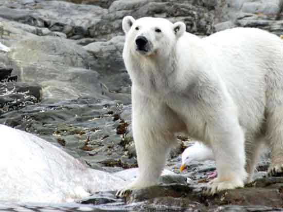 דובי הקוטב והלווייתן באי Prins Karls Forland / צילום: תמי בר-לב