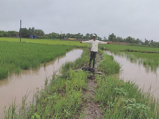 מטע אורז בהודו: מימין לפני פעילות סאליקרופ, משמאל אחרי. הזרעים גדלים בתנאי מליחות / צילום: באדיבות סאליקרופ