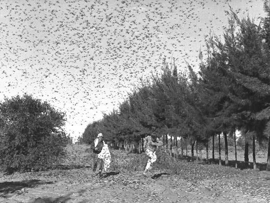 ארבה בקיבוץ סעד, 1955 / צילום: מתוך ויקיפדיה