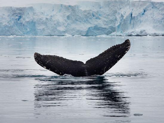 לוויתן כחול באנטרקטיקה. מאז נכנס האיסור על ציד מסחרי של לווייתנים לתוקף, אוכלוסיית הלווייתנים התאוששה כמעט / צילום: Abbie Trayler-Smith - Greenpeace