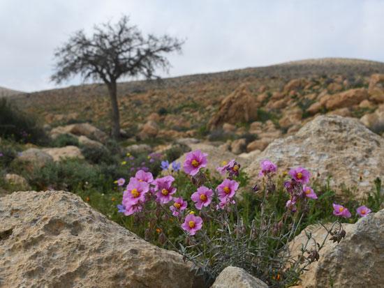 ראש אלות - פריחה במדבר / צילום: יותם יעקבסון