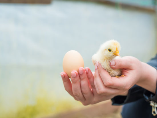 SOOS (אפרוח בערבית). שינוי התנאים במדגרה משפיע על התמיינות תאי המין / צילום: Shutterstock | א.ס.א.פ קריאייטיב