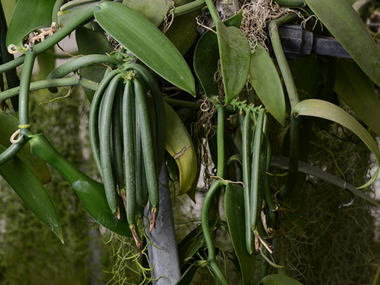 צמח הווניל. כמוצר טבעי הוא נמצא במחסור אדיר / צילום: איל יצהר