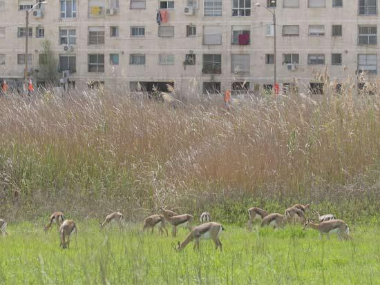 צבאים בירושלים / צילום: עמיר בלבן, החברה להגנת הטבע