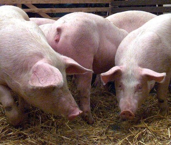 חזירים, בעלי חיים, חקלאות, כשרות / צלם רויטרס