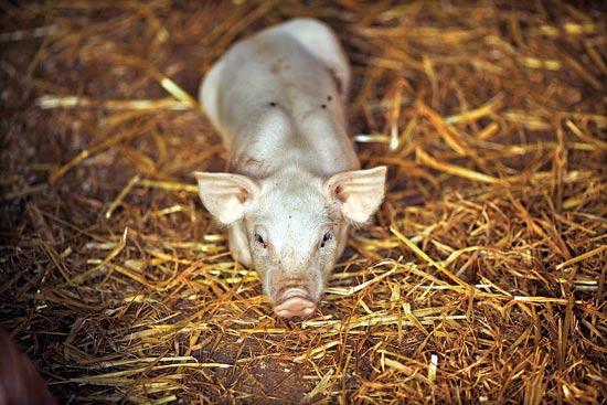 חזירים / צילום: רויטרס
