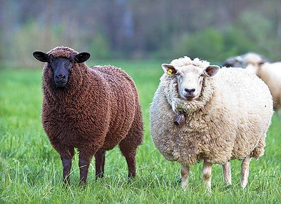 כבשים / צילום: shutterstock
