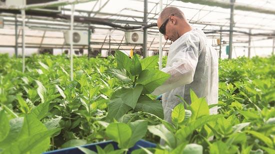 """גידול טבק מהונדס גנטית בחממה / קרדיט: יח""""צ"""