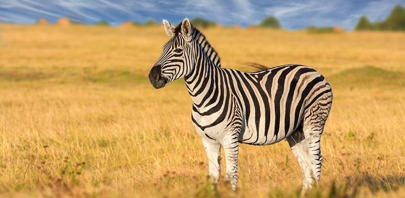 זברה/ צילום:Shutterstock/ א.ס.א.פ קרייטיב