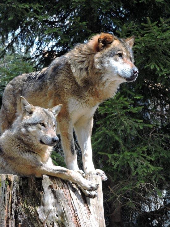 """חוות הזאבים ב Mercantour/ צילום: יח""""צ חול"""