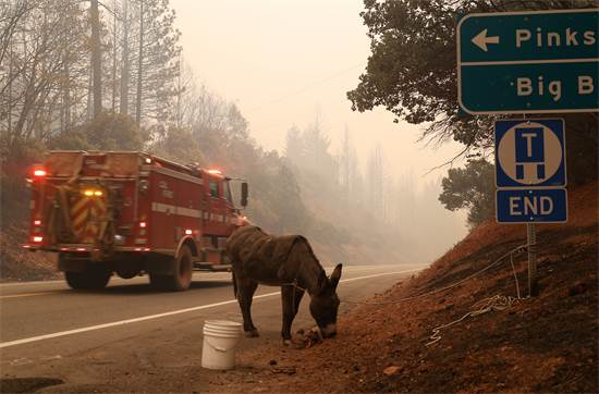 חמור קשור לשלט בזמן שריפות הענק בקליפורניה / רויטרס