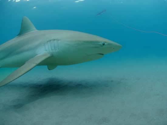 כריש עפרורי  / צילום: Out Of The Blu