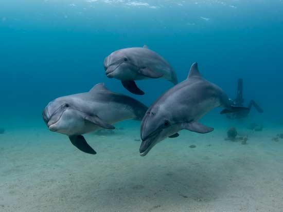 דולפין מצוי / צילום: חגי נתיב, תחנת מוריס קאהן לחקר הים