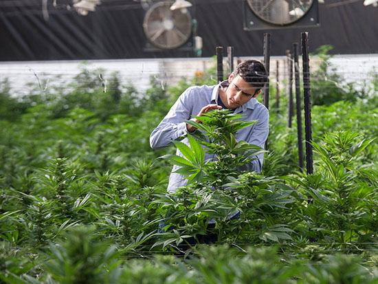 חוות גידול של BOL פארמה / צילום: באדיבות המפעל והחממות: BOL Pharma