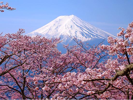 הר פוג'י ופריחת הדובדבן / צילום:  Shutterstock | א.ס.א.פ קריאייטיב