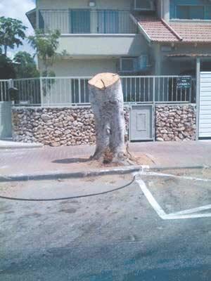 עץ כרות בכפר סבא/ צילום: פנחס כהנא