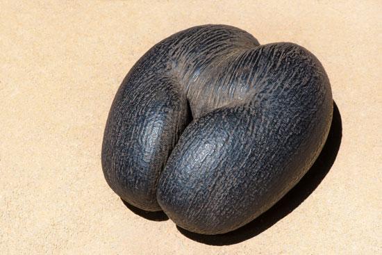 הזרע של פירות עץ קוקוס הים /צילום: Shutterstock | א.ס.א.פ קריאייטיב