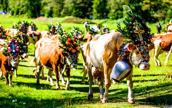 הפרות יורדות מההרים/ צילום: shutterstock א.ס.א.פ קריאייטיב