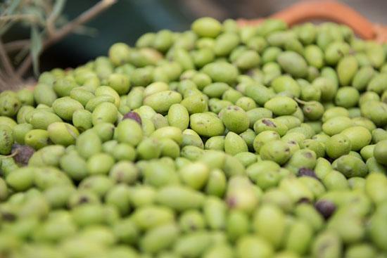 פסטיבל הזית של הרשות לפיתוח הגליל / צילום: יחצ