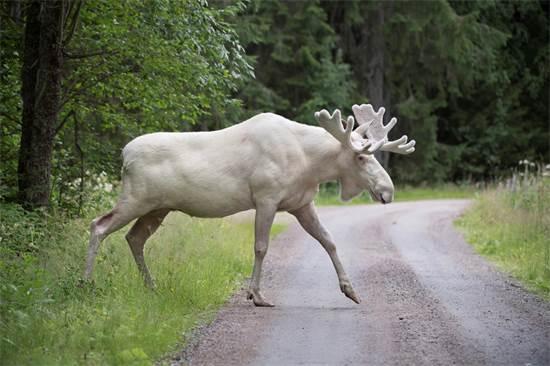 אייל קורא לבן עוזב את היער שבו הוא חי במערב שבדיה, שם על פי ההערכות קיימים רק עוד מאה שכמותו, אוגוסט 2017 / צילום: Tommy Pedersen, רויטרס