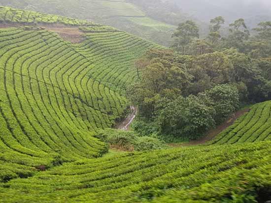 מטעי התה/ צילום: אורלי גנוסר