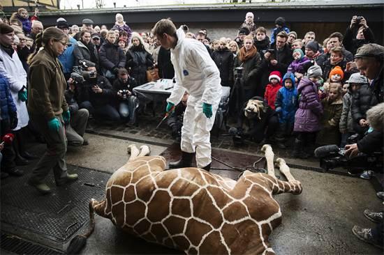 וטרינר מתכונן לביתור גופת הג'ירף בן השנה וחצי מאריוס, שהומת כדי לדלל את אוכלוסיית הג'ירפות בגן החיות בקופנהגן, פברואר 2014 / צילום: Kasper Palsnov, רויטרס