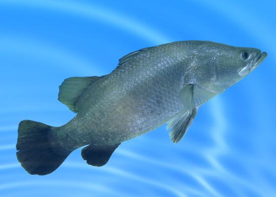 דג מסוג ברמונדי בבריכת גידול מלאכותית / צילום: shutterstock, שאטרסטוק