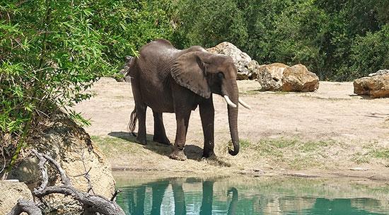 פיל אפריקאי - זן בסכנת הכחדה / צילום: shutterstock, שאטרסטוק
