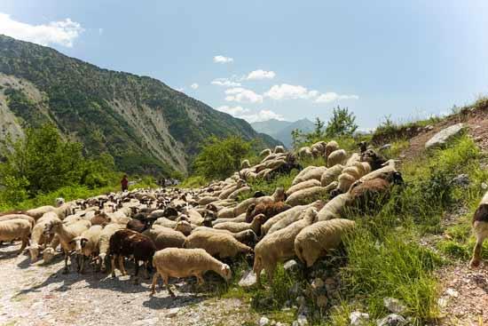 כבשים בדרך / צילום: אורי מגנוס