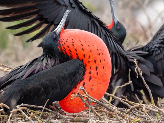 עוף פריגטה  זכר מבליט את הבלון האדום / צילום: יפה ורן דגוני