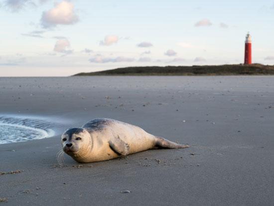 כלב ים על החוף באי טרשלינג/ צילום: Shutterstock | א.ס.א.פ קריאייטיב