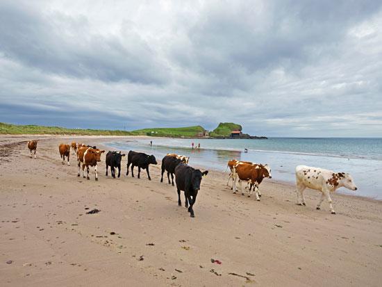 מרעה ימי. הפרות יוצאות ללחך עשב ים, דרומית לקמפבלטאון/ צילום:  Shutterstock | א.ס.א.פ קריאייטיב
