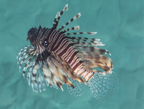"""דג במפרץ אילת / צילום: ד""""ר אילן מליסטר, המשרד להגנת הסביבה"""