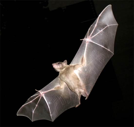 עטלף פירות / צילום: ויקיפדיה