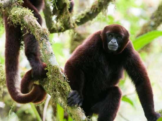 קוף צמרן צהוב זנב / צילום: באדיבות ארגון TiME