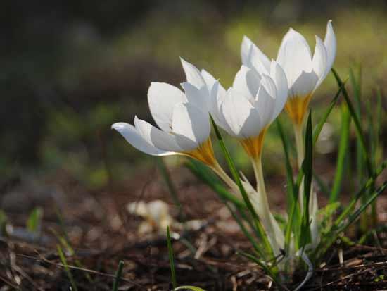 פרח הכרכום / צילום: יותם יעקובסון
