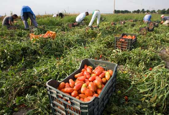 קטיף עגבניות בדרום איטליה/  צילום:רויטרס Tony-Gentile