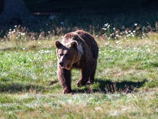 דובים בחצר האחורית/ צילום Shutterstock | א.ס.א.פ קריאייטיב